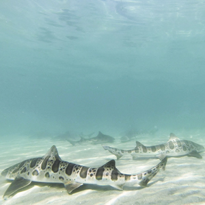 Snorkel with leopard sharks off the marine room.