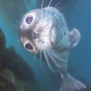 La Jolla scuba with seals.